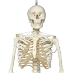 Functional Physiological Skeleton, Frank, Posable - A15-3S