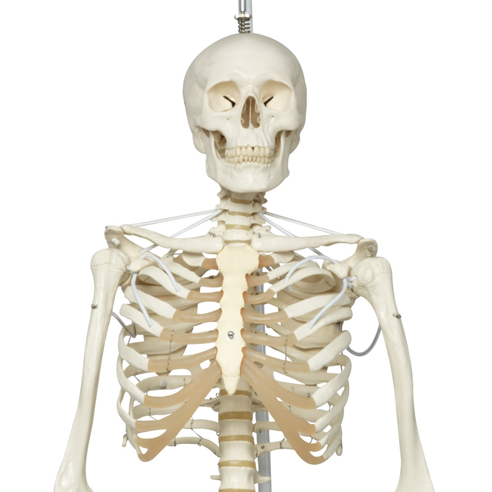 life-size human skeleton model, life-size teaching skeleton model, Skeleton