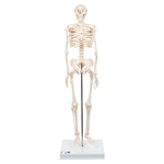 3B Scientific Mini Skeleton Shorty, mounted on a base A18