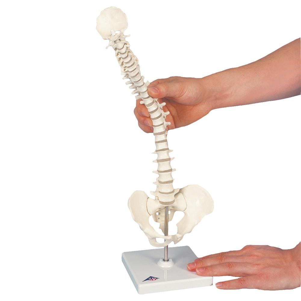 mini vertebral column elastic on stand a18 21