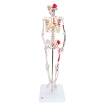 Mini Human Skeleton Shorty with Painted Muscles, On Pelvic Stand - A18-5