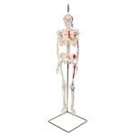 3B Scientific Mini Skeleton Shorty with painted muscles, on hanging stand A18-6