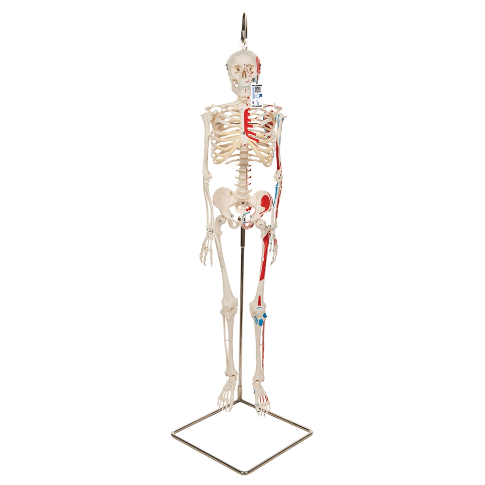 Mini Human Skeleton Shorty With Painted Muscles On Hanging Stand
