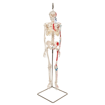 Mini Human Skeleton Shorty with Painted Muscles, On Hanging Stand - A18-6