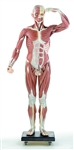 SOMSO Male Muscle Figure - 41 Parts