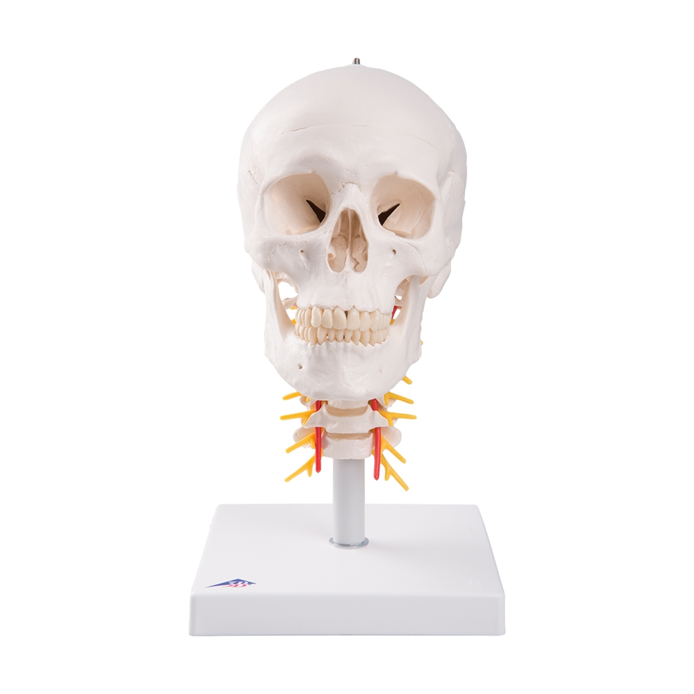 Human Skull Model On Cervical Spine 4 Part
