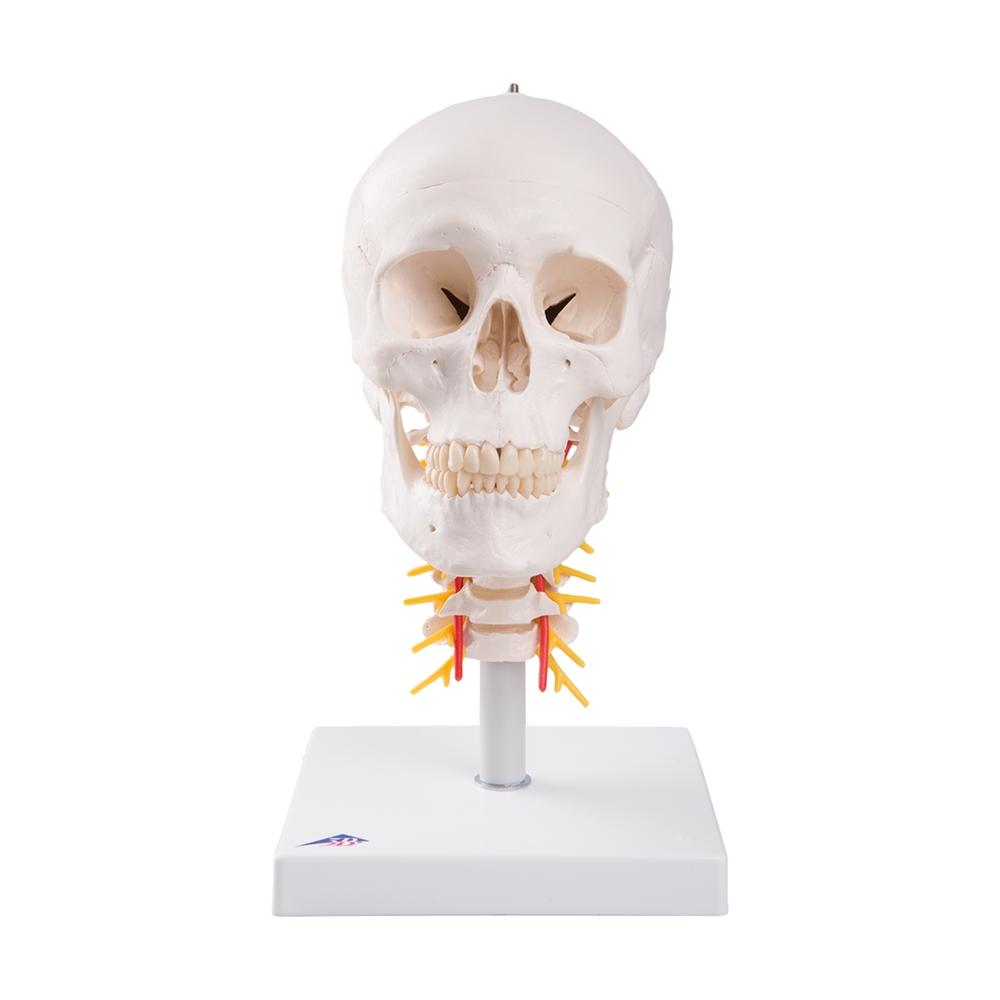 Human Skull Model On Cervical Spine 4 Part