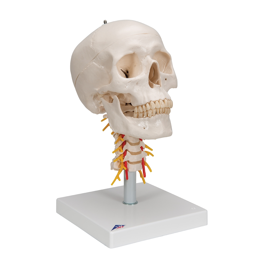 Human Skull Model on Cervical Spine, 4 part