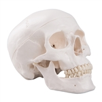Skull Model | Human Skull Model | Skull Models | Human Skull Models | Model of the Human Skull | Models of the Human Skull | Classic Human Skull Model | 3B Scientific A20 Classic Human Skull Model | Buy 3B Scientific A20 Classic Human Skull Model On Sale