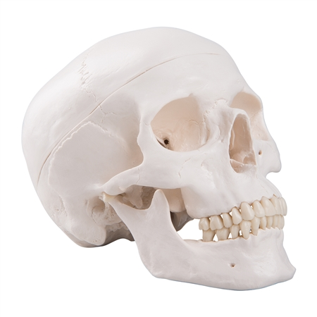 Classic Human Skull Model On Sale