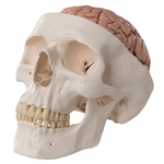 Classic Human Skull Model | Classic Human Skull Model with Brain | Classic Human Skull Model with 5 part Brain | Classic Anatomical Skull Model with Brain A20-9 | Buy 3B Scientific A20-9 Classic Human Skull Model with 5 part Brain On Sale