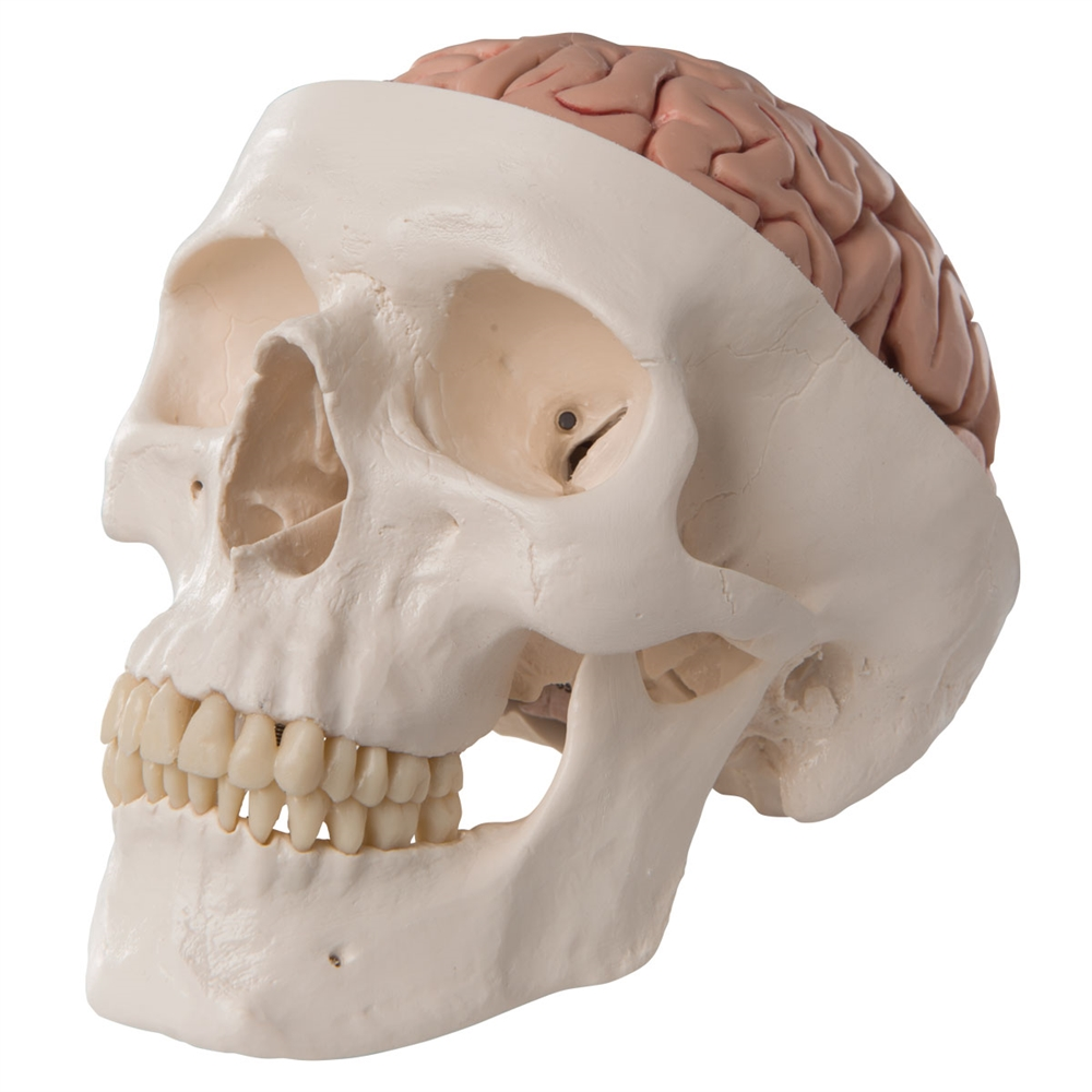 Human Skull Model with 5 part Brain