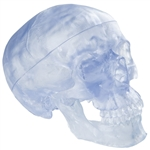 Transparent Skull Model, 3-part - A20-T