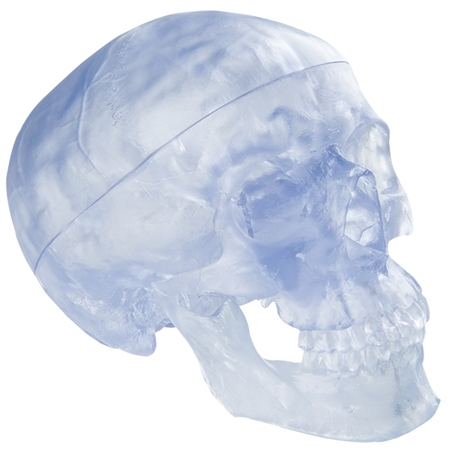 Transparent Classic Anatomical Skull Model, 3-part A20-T