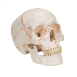 3B Scientific A21 Numbered Human Classic Skull Model 3 part