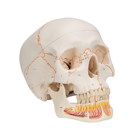 Classic Human Skull Model, with opened lower jaw - 3-part - A22