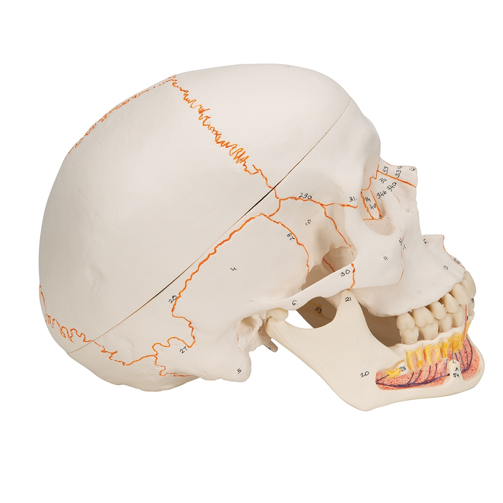 Classic Human Skull Model, with opened lower jaw - 3-part A22