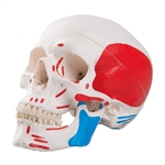 Painted Classic Anatomical Skull Model, 3-part A23