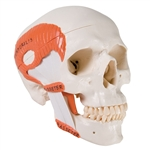 TMJ Human Skull Model, demonstrates functions of masticator muscles, 2 part