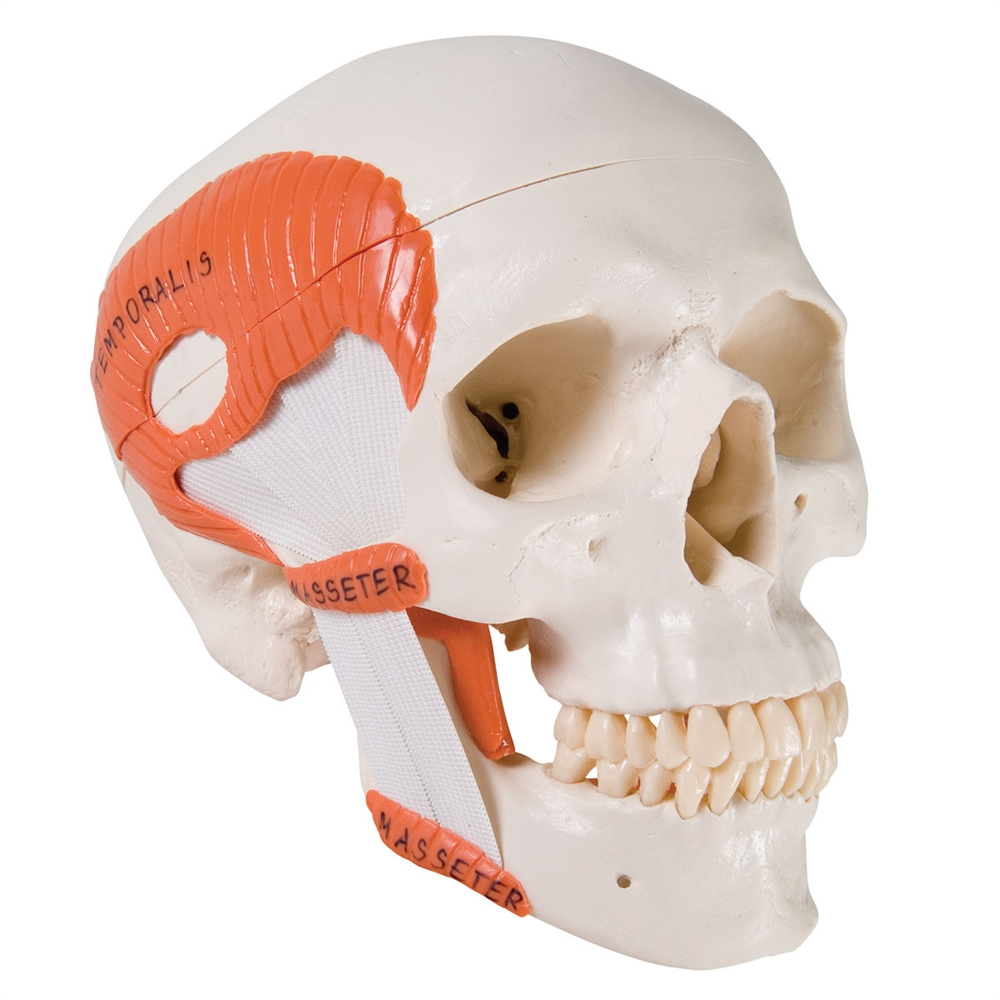 Tmj Skull With Masticator Muscles 2 Part