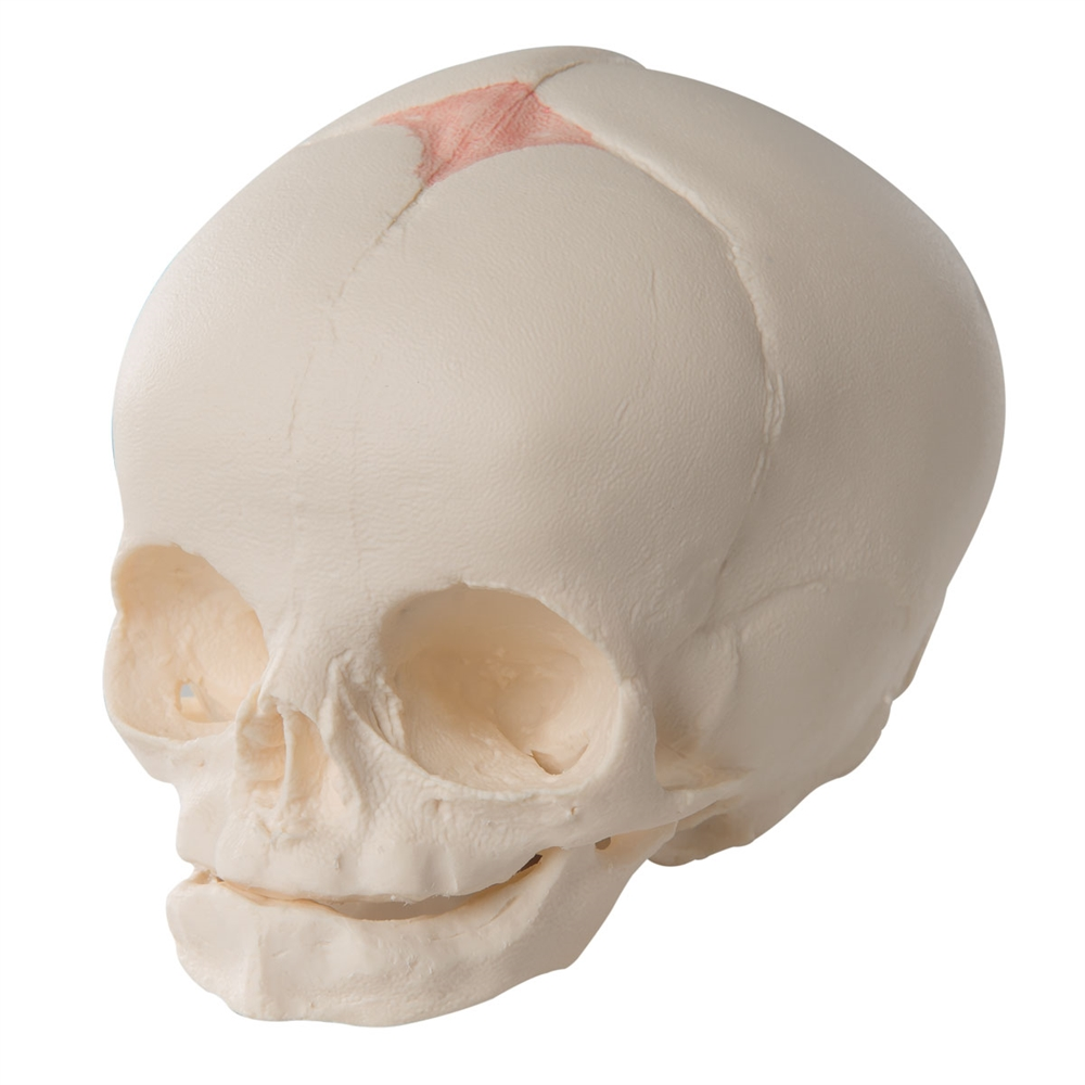 Fetal Skull Model, without stand