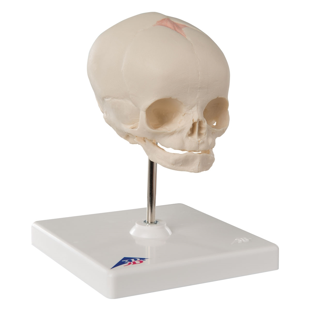 Fetal Skull Model, with stand A26