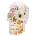 Deluxe Human Demonstration Dental Skull Model, 10 part - A27