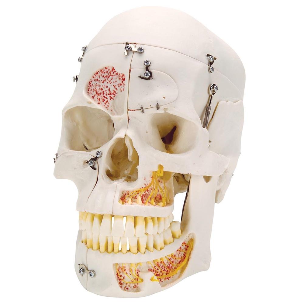 Deluxe Human Demonstration Dental Skull Model 10 Part