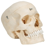Skull Model  | Bony Skull Model |  BONElike Skull Model | Bony Skull | BONElike Skull Model - Bony Skull, 6 part A281 | 3B Scientific BONElike Skull Model number A281