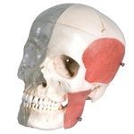 BONElike Skull Model - Combined Transparent and Bony Skull, 8 part A282