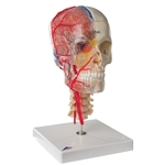 Skull Model with Brain and Vertebrae | Human Skull Model with Brain and Vertebrae | 3B A283 BONElike Human Skull Model with Brain and Vertebrae | BONElike Human Skull Model, Half Transparent & Half Bony- Complete with  Brain and Vertebrae