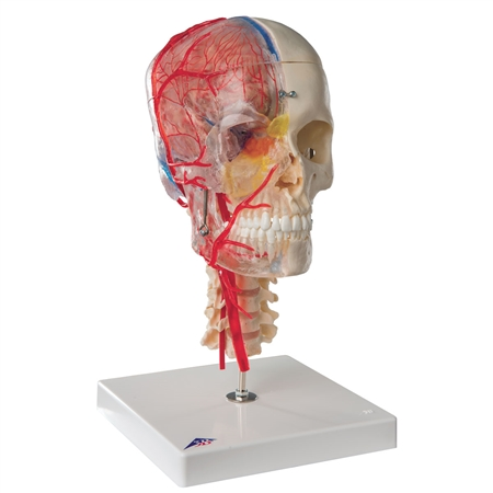Skull Model Half Transparent and Half Bony with Brain and Vertebrae - A283