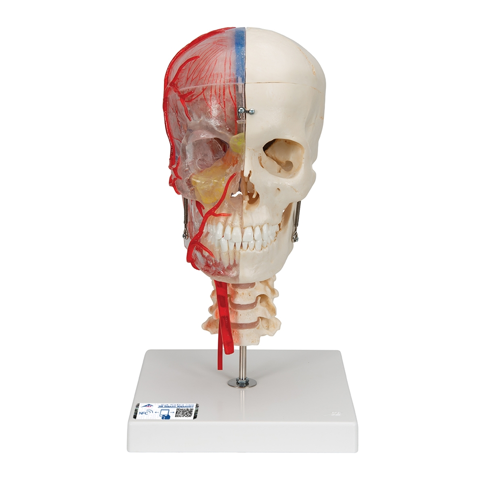 Skull Model Half Transparent And Half Bony With Brain And Vertebrae