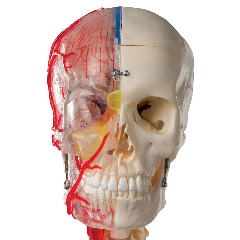 Skull Model Half Transparent and Half Bony with Brain and Vertebrae