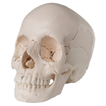 Beauchene Adult Human Skull Model - Anatomical Version, 22 part A290