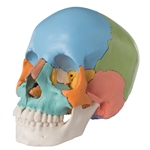Beauchene Adult Human Skull Model, Colored Version, 22 part - A291