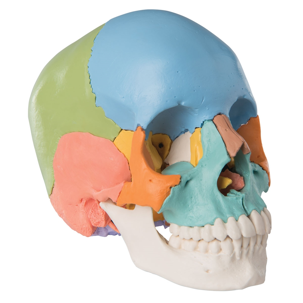Beauchene Adult Human Skull - Didactic Colored Version, 22 part