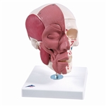 Anatomical Skull Model with Facial Muscles