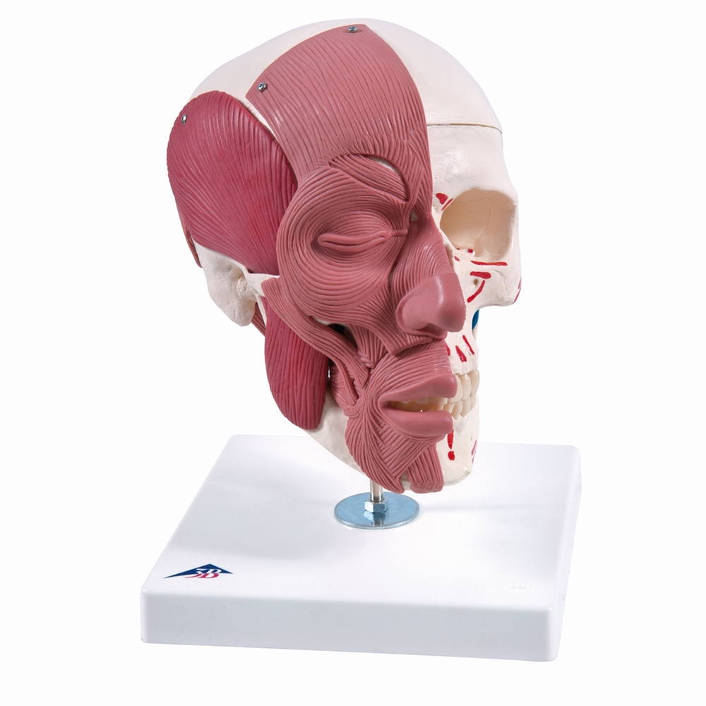 Skull Model with Face Musculature