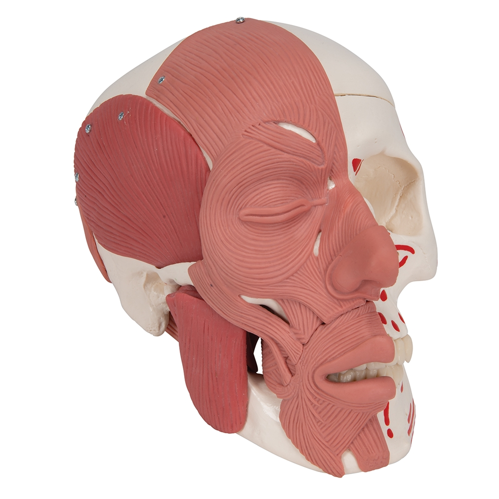 Skull Model with Facial Muscles