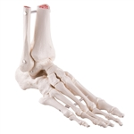 Loose Foot and Ankle Skeleton, A31-1