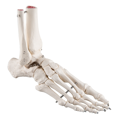Foot and Ankle Skeleton Model - A31