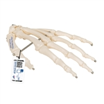 Hand Skeleton Wire Mounted
