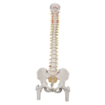 Classic Flexible Spine Model with Femur Heads - A58-2
