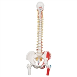 Spine Model | Muscle Spine Model | Flexible Spine Model | 3B Scientific A58-3 Classic Flexible Spine Model with Femur Heads and Painted Muscles