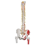 Deluxe Flexible Spine Model with Femur Heads and Painted Muscles - A58-7