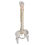 Highly Flexible Spine Model with Femur Heads - A59-2