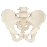 Male Pelvic Skeleton Model A60