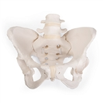 Flexible Female Pelvic Skeleton Model