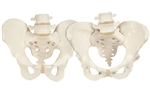 Male and Female Pelvic Model Set - A610